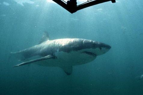 Prison avec sursis pour avoir pêché un requin blanc en Afrique du Sud