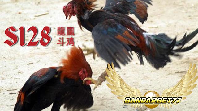 Mengenal Perbedaan Tipe Ayam Pukul dan Ayam Taji