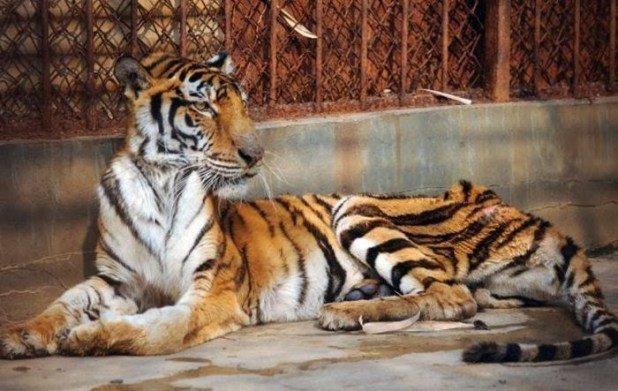 Chine : des tigres affamés pour être transformés en vin