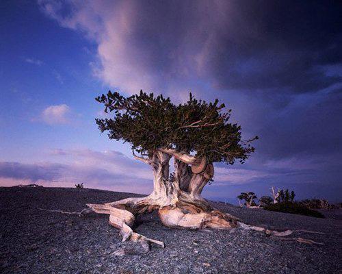 Les arbres les plus vieux du Monde • Regard sur le Monde