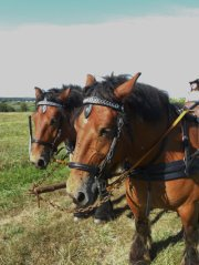 Traits Fortiches, le cheval utilitaire