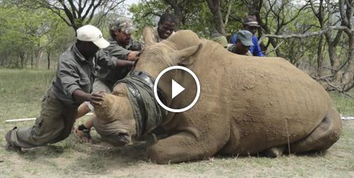 Vidéo En guerre contre le braconnage des rhinocéros - Animalbuzz.fr