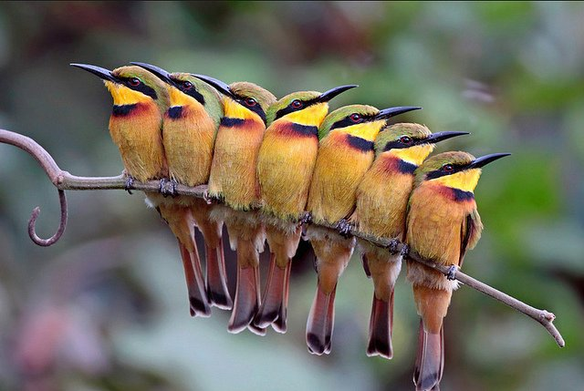 A group of Little Bee Eaters
