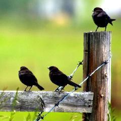Un printemps plus silencieux : les oiseaux des campagnes françaises disparaissent rapidement