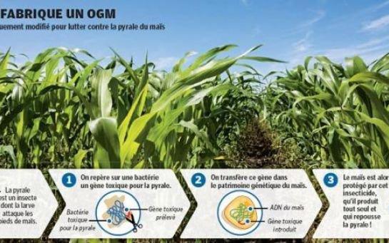 L'étude choc qui relance le débat sur les OGM
