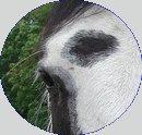 Where are you ?? Blog de recherche d'un cheval perdu de vue