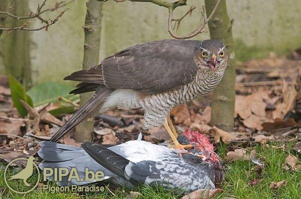 Les rapaces sont devenus le cauchemard des colombophiles | Pigeon Paradise