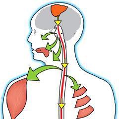 La sérotonine responsable de la spasticité musculaire de la SLA