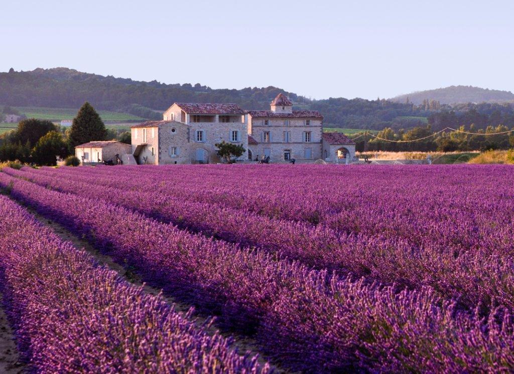 buy provence lavender