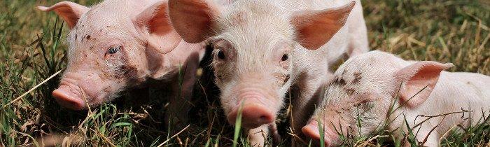 Intelligence et vie sociale des cochons | Éthique et animaux