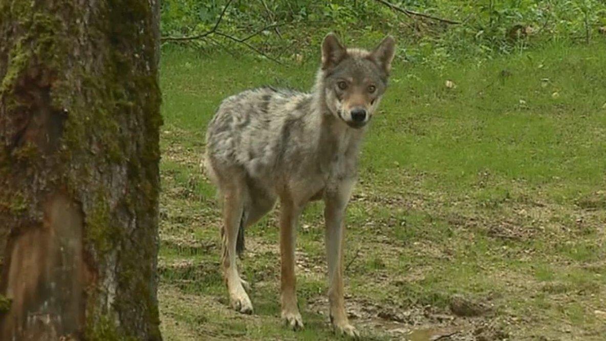Le loup est-il en Corrèze ?