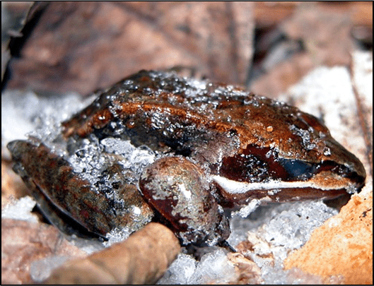 Frozen Frogs - Nature Center at Shaker Lakes wood frogs