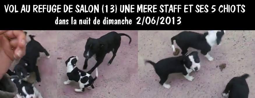 SOS VOL DE STAFF LA MERE ET SES 5 CHIOTS A LA SPA DE SALON LA NUIT DU 2/06 AU 03/06
