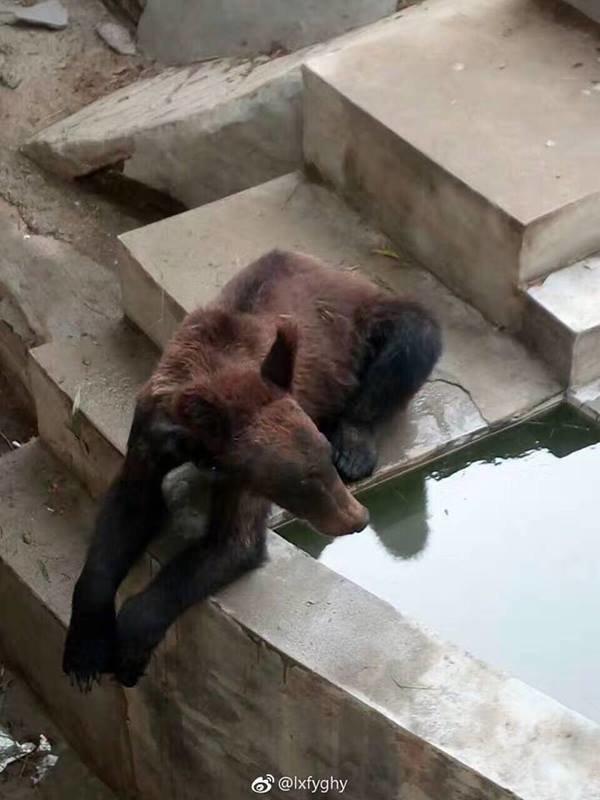 Les images de cet ours affamé dans un zoo chinois font le tour du monde