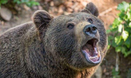 Booster la diffusion de la pétition : Désarmez les éleveurs qui traquent les ourses nouvellement introduites dans les Pyrénées