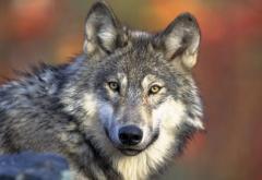 ÉTATS-UNIS • Le premier loup gris aperçu dans le Grand Canyon depuis 70 ans tué par erreur