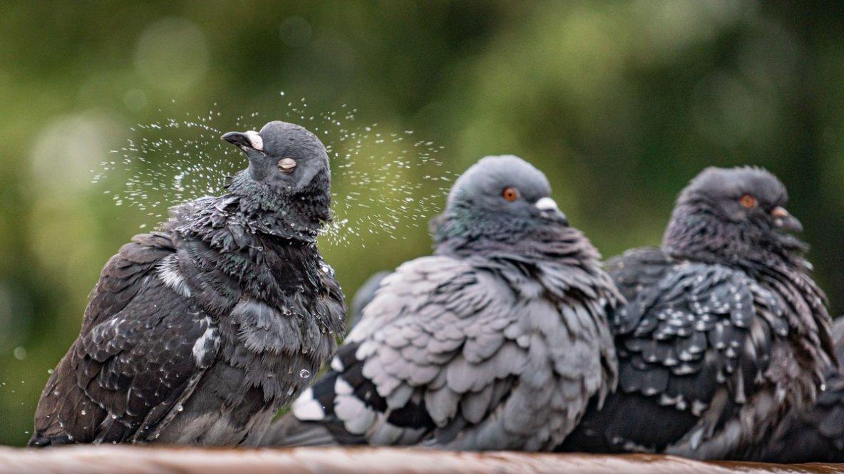 Vous devez le respect aux pigeons