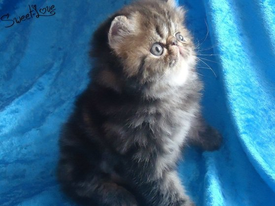 Persans et Exotics Shorthairs ♥ Chatterie The-Sweet-Love ♥ - Accueil