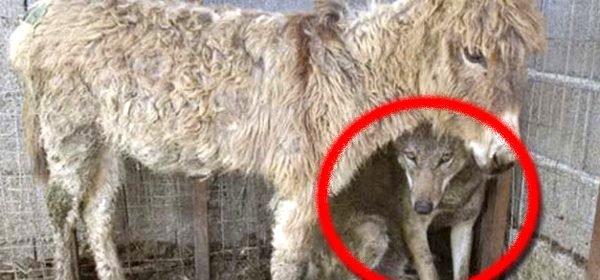Des hommes sans scrupules ont mit un loup avec un âne dans un enclos… attendez de voir la réaction du loup !