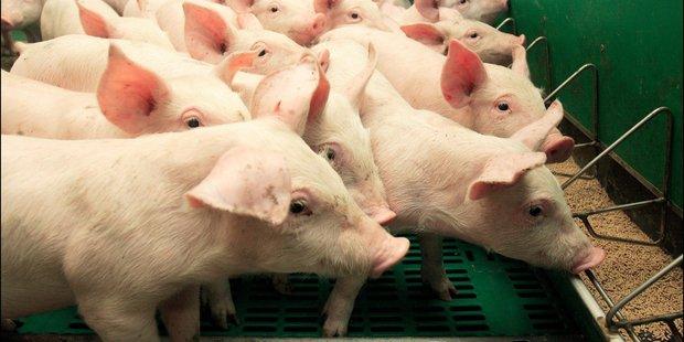 L'abattage des porcs débutera ce Vendredi 28/09/2018