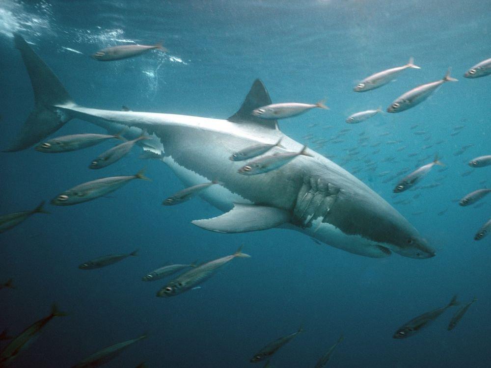 La résistance des requins face aux cancers expliquée par leur génome