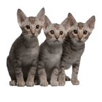 Kitten Playing transparent background ~ Free Png Images