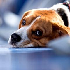 De plus en plus de chiens très malades avec le cannabis, mettent en garde des vétérinaires