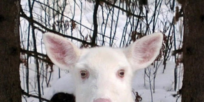 "Tell Wisconsin NOT to kill our rare white deer, the ""Ghosts of the Forest"", NOT EVER! - The Petition Site"