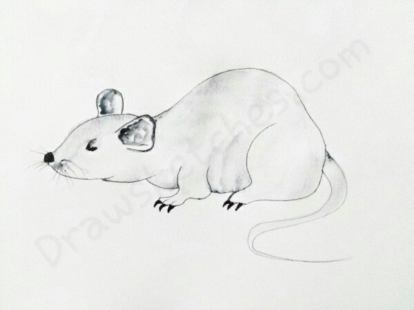 How to Draw A Rat: In a Few easy And detailed steps with pictures