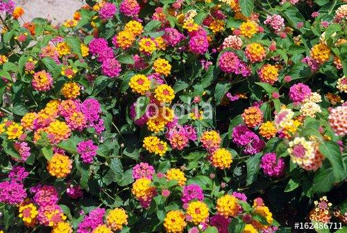 """""""Bosquets fleuris au centre de Saint-Raphaël (Var)"""" photo libre de droits sur la banque d'images Fotolia.com - Image 162486711"""