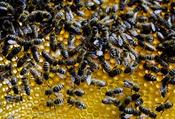 Ces précieux pollinisateurs que l'on éradique