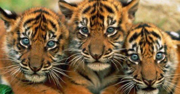 Sauvons les derniers tigres