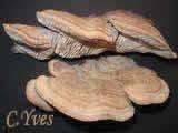 Les champignons d'arbre, toutes les consoles, Polypores, Tramètes, Lenzites...