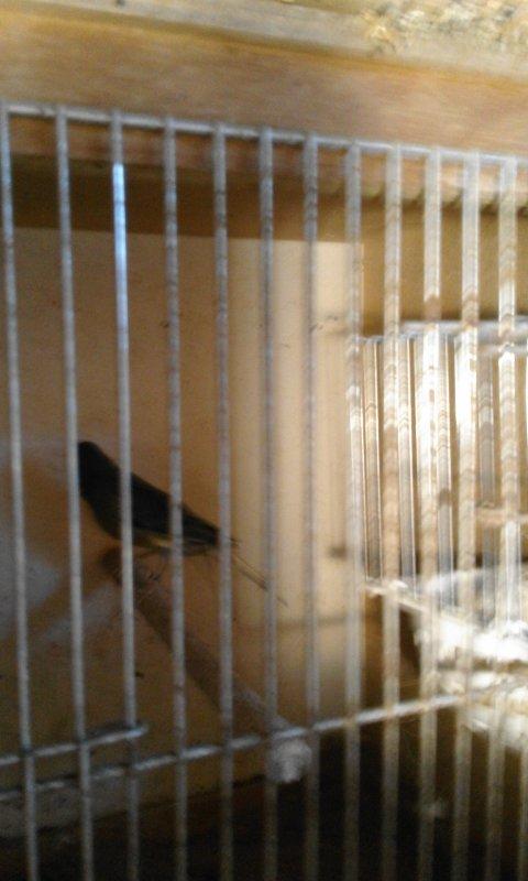 accouplement des canaris pour 2017
