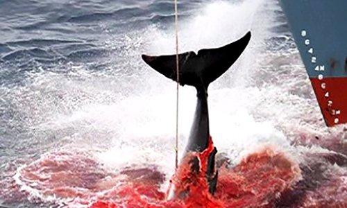 Pétition : Cessez immédiatement la chasse aux baleines enceintes !