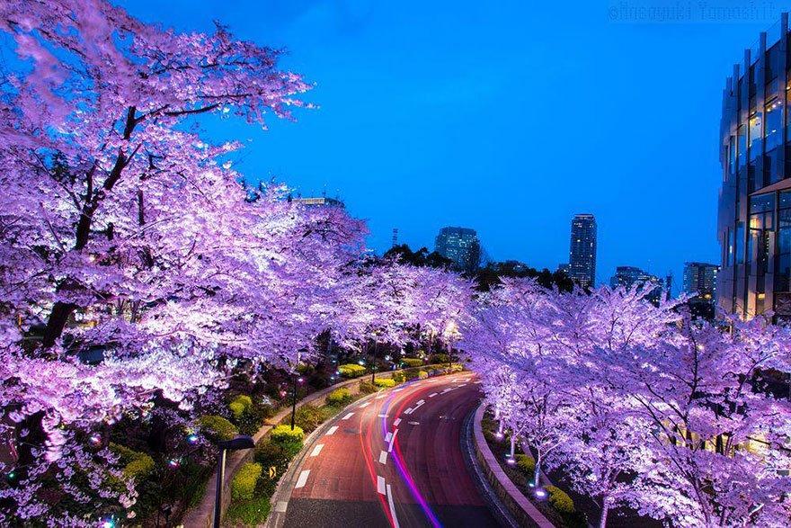 17 photos magiques de fleur de cerisier du japon par National Geographic
