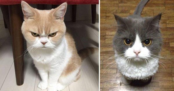 15 chats avec l'air le plus vénère au monde, faut pas chercher la petite bête - Koalol
