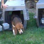 Des chiens de laboratoire sortent pour la première fois - beagles