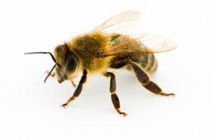 Bee Venom Destroys HIV And Spares Surrounding Cells