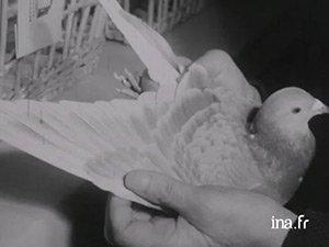 Mémoires de mines - Le comportement du mineur avec ses pigeons : enquête sociologique