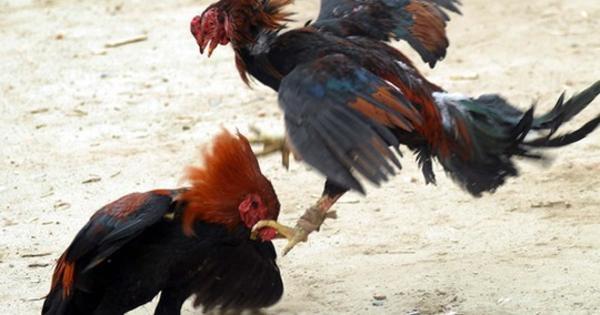 Mengenal Jenis Ayam Lokal Asli Indonesia Yang Melegenda