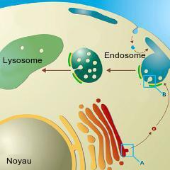 Maladies auto-immunes: découverte d'un nouveau mécanisme déclencheur