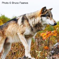 Help Stop the Wolf Carnage in Idaho