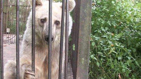 Cinq mois après son sauvetage mené par l'association Peta, l'ourse Fifi retrouvée dans un zoo abandonné reprend du...