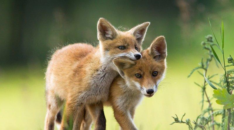 One Voice en campagne : La paix pour les renards !