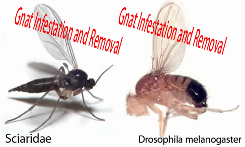 How To Get Rid Of Gnats -