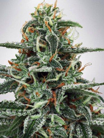 White Widow Feminizowane - Ministry of Cannabis