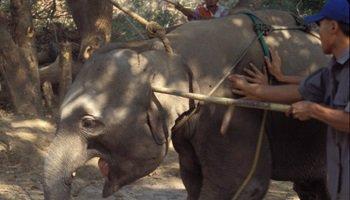 Pétition : Non à la cérémonie du Phajaan, la torture des éléphants en Thaïlande