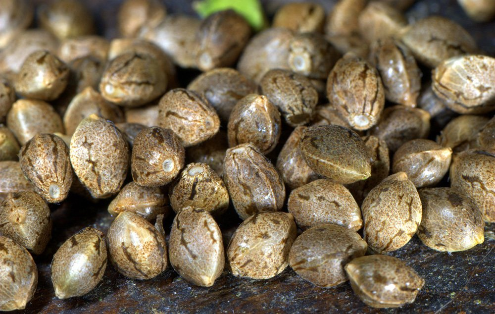 7 Tips To Choose The Best Cannabis Seed For You