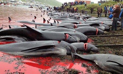 Pétition : Arrêtez le massacre ignoble des dauphins aux îles Feroe !
